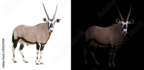 Antilope oryx or gemsbok in dark background