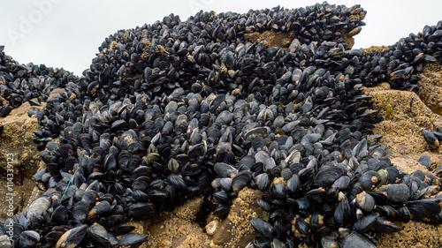 Valokuva  Fresh mussel on rocks at the beach