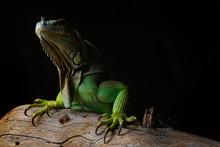 Iguana On Dark Background. Black And White Image