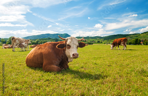 Poster Koe Cow lying in a field