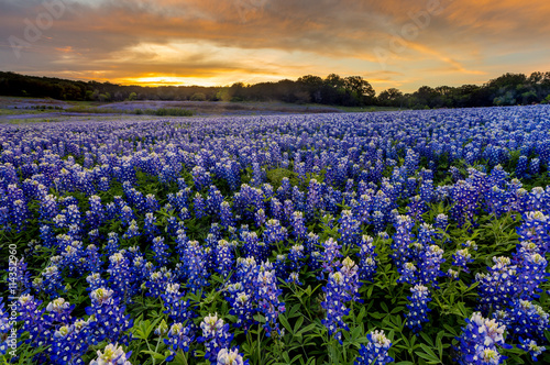 Poster Texas Beautiful Bluebonnets field at sunset near Austin, Texas in spri