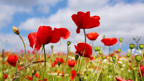 plakat Poppies on blue sky background.