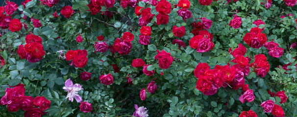 Naklejkapink rose bushes