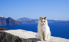 White Cat Blue Water And Santorini Mountains
