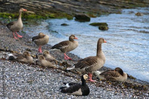 Photo  Barnacle geese, Oslo, Norway