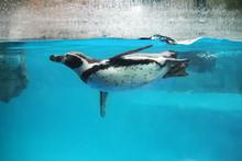 Closeup Of Penguin Swimming Un...