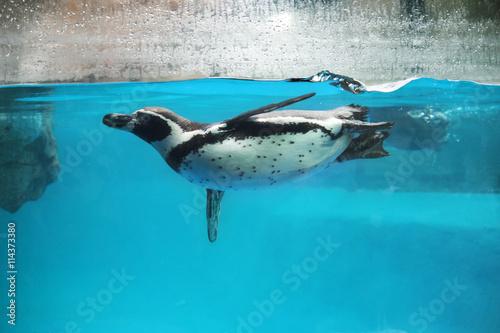 Closeup of Penguin swimming underwater
