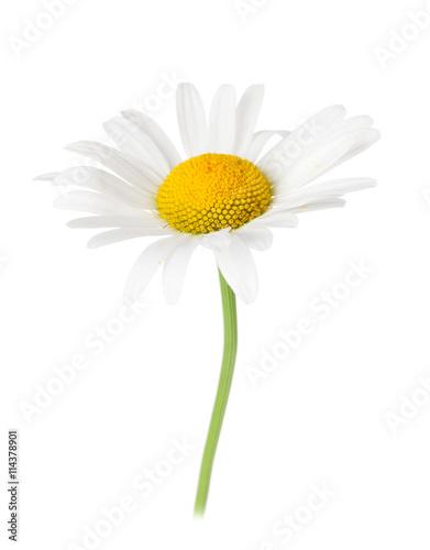 Foto op Canvas Madeliefjes Daisy chamomile flower