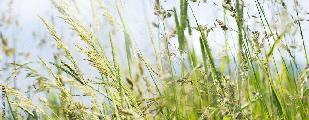 Fototapety, obrazy: flowering grass in detail - allergens