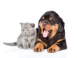 portrait of a scottish kitten and rottweiler puppy. Isolated on white