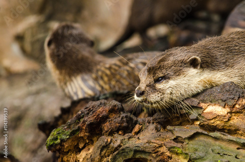 Cuadros en Lienzo Otter in nature