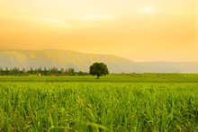 Tree, Paddy Field, Landscape And Golden Hour.