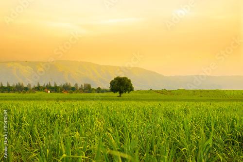 Foto auf Gartenposter Orange Tree, Paddy field, Landscape and golden hour.