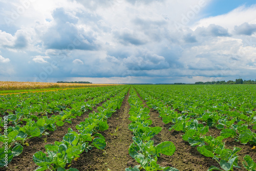 Photo  Field with vegetables in summer