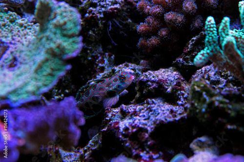 Green spotted mandarin fish Tablou Canvas