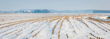 Curved Rows Of Maize Stubbles In Snow