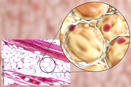 White adipose tissue, light micrograph and 3D illustration, hematoxilin and eosin staining, magnification 100x Wallpaper Mural