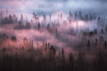 Trees Covered With Fog In The Forest