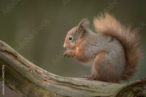 Obraz Red Squirrel - fototapety do salonu