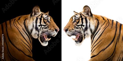 Foto auf AluDibond Tiger Siberian tiger