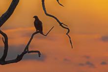 Eagle Portrait In Sunset