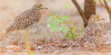 Two Spotted Thick Knee Birds