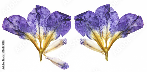 Poster Iris dry dark blue, purple perspective delicate flowers of iris with