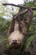 Young Hoffmann's two-toed sloth on the tree