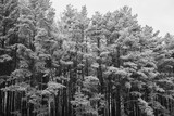 The tops of the pine trees covered with snow - 114456129