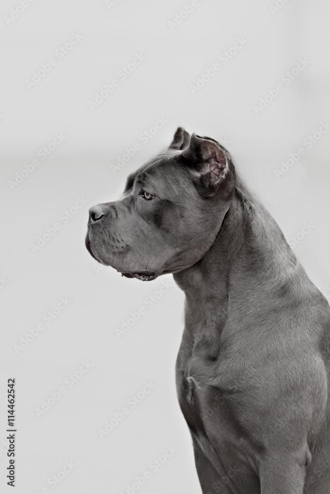 The Portrait Of Italian Cane Corso Dog Foto Poster Wandbilder Bei