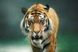 Wild animal Tiger portrait