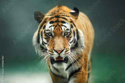 Photo sur Toile Tigre Wild animal Tiger portrait