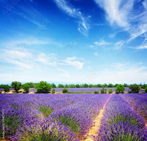 obraz dibond Lavender summer field