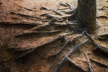 Exposed Tree Roots. Exposed Ro...