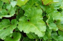 Giant Leaves And Stalks Of Rhubarb Growing In The Garden (polygonaceae)