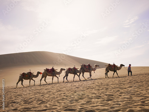 Photo  Camels on the Silk Road in Dunhuang (Gansu Province, China)
