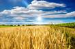 canvas print picture - Milder Spätsommer in der Pfalz: Weizenfelder, Ernte, Getreide, blauer Himmel, Wolken :)