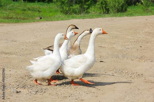 Fotografie, Obraz  geese