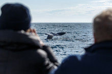 Whale Watching, Sperm Whale Tail, Norway