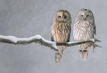 Pair Of Ural Owls Sitting On B...