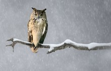 A Eurasian Eagle Owl Perched O...