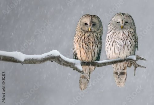Foto  Pair of Ural owls sitting on branch (Strix uralensis)