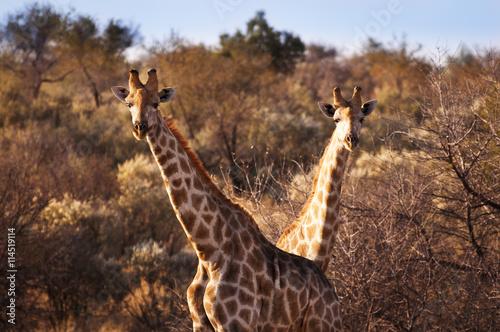 fototapeta na lodówkę Two giraffes in the Savannah, in Namibia, Africa