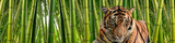 Fototapeta Bambus - A tiger in Tall stalks of dense green bamboo in a jungle setting.