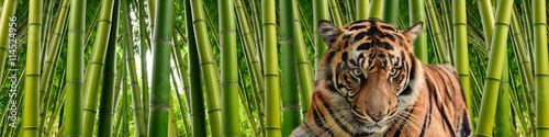 In de dag Tijger A tiger in Tall stalks of dense green bamboo in a jungle setting.