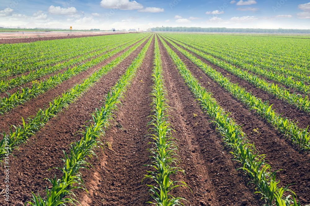 Fototapety, obrazy: Rows of corn field in  in springtime. Horizontal view in perspec