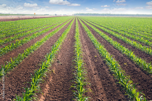 Rows of corn field in in springtime. Horizontal view in perspec