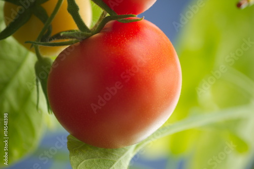 Foto auf Gartenposter Lebensmittelgeschäft rijpe tomaat