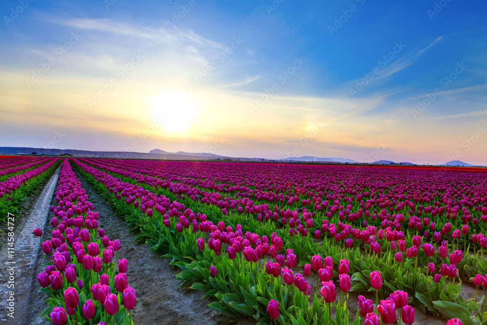 Fototapety, obrazy: Field of beautiful colorful tulips in Roozengaarde