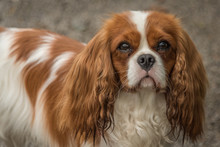 Portrait Of A Cavalier King Charles Spaniel Looking At The Camera